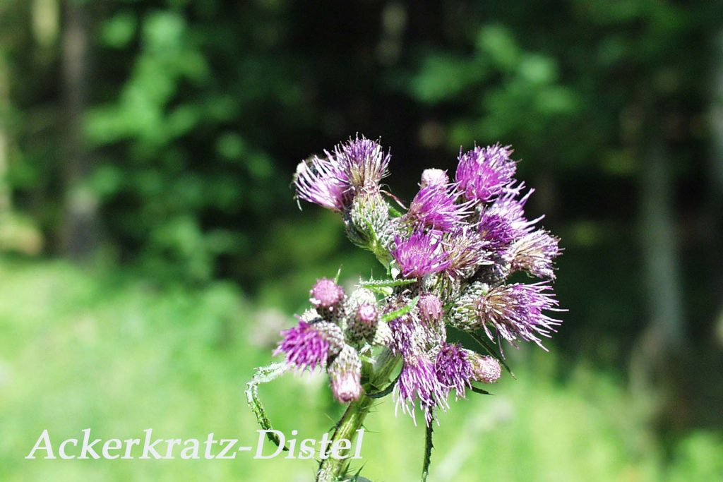 Ackerkratz-Distel