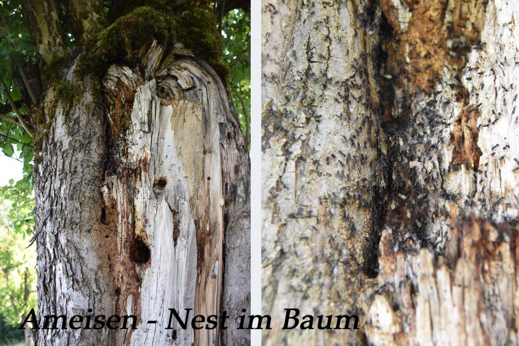 Ameisen - Nest im Baum