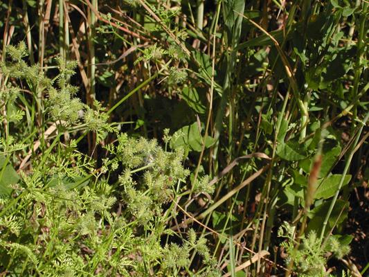 Caucalis platycarpos (Ackerhaftdolde), RL