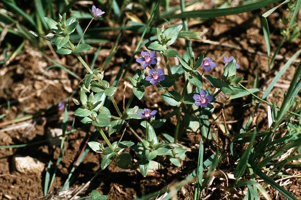 Anagallis foemina (Blauer Gauchheil)