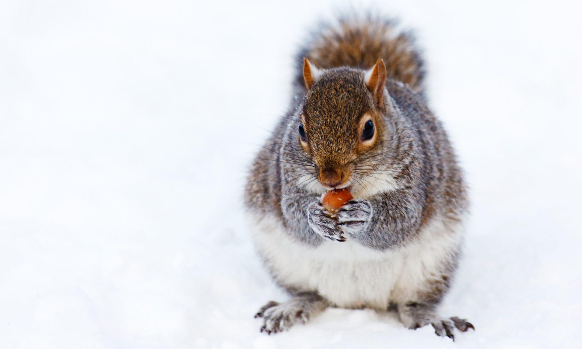 Eichhörnchen, Winter