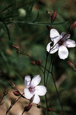 Linum tenuifolium (Schmalblättriger Lein), RL