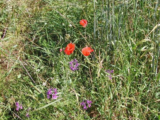 Mohn (Papaver rhoeas), Acker-Rittersporn (Consolida regalis), Weinberglauch (Allium vineale)