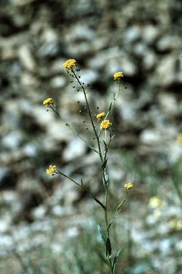 Neslia paniculata (Finkensame)