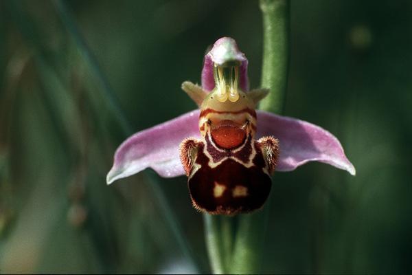 Ophrys apifera (Bienenragwurz)