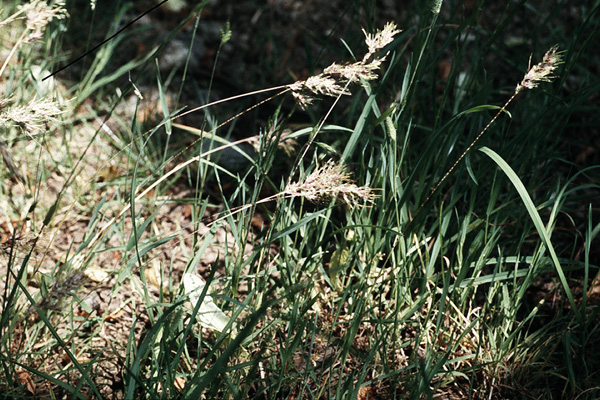Poa bulbosa (Knolliges Rispengras)