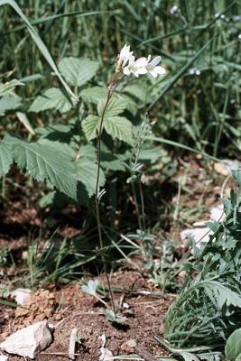 Saxifraga granulata (Knöllchen-Steinbrech)