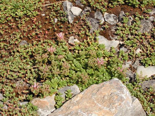 Ein Gartenflüchter: Sedum spurium (Teppich-Fetthenne)